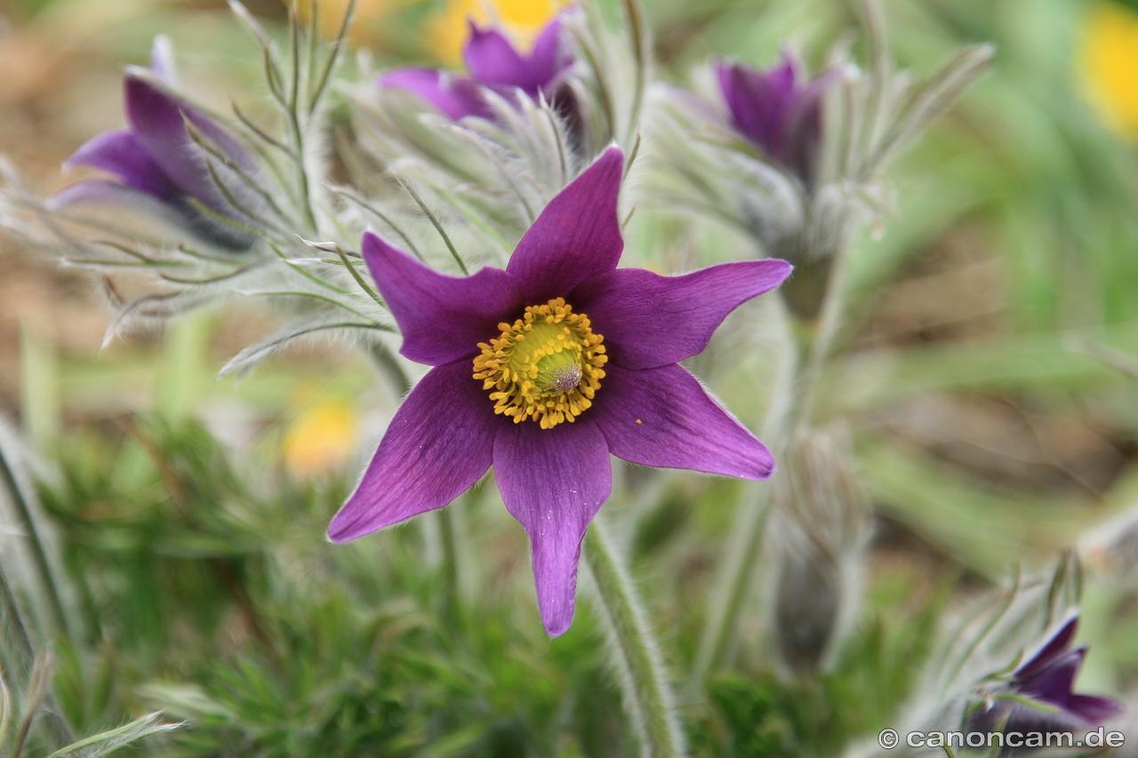 Unser Pflanzen- und Blumen-Photo-Thread - cattalk - das Katzen-Forum