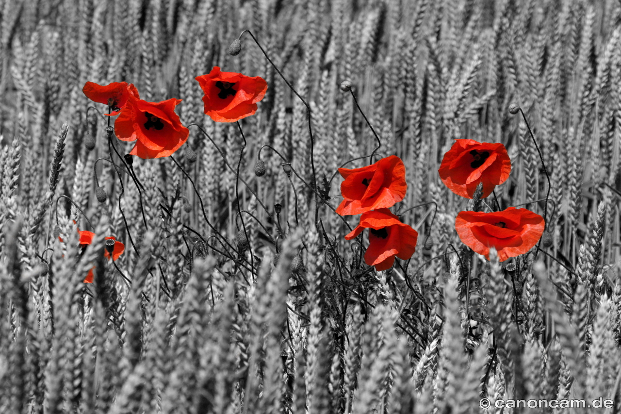 Mohn Colorkey